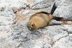 Galapagos sea lion (Zalophus wollebaeki)